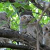 Photo of the day: Family of owls