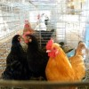 Burglars slaughter over 900 chickens at Cali poultry farm