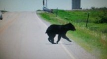 Iowa DNR says black bears could be returning to Iowa soon