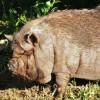 "Photo of the day: ""Piggy Sue"""