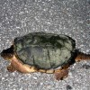 Photo of the day: Snapper on the road