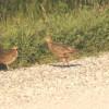 2017 Iowa pheasant harvest tops 220,000, 2018 nesting forecast is mixed