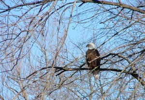A bald eagle in Mason City, Iowa.  Picture taken in February of 2012.
