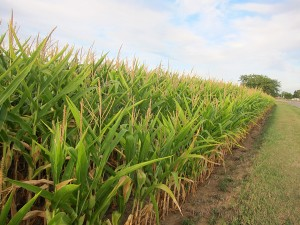 A corn field in Mason City, Iowa.