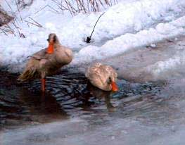 Ducks enjoying the wet conditions.  Photos by Jody Spear and Kelly Meyer.