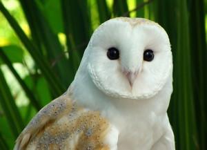 Barnaby the Barn Owl, winner of the World Owl Hall of Fame's 2011 Lady Gray'l Award. © Richard Ford festivalofowls.com