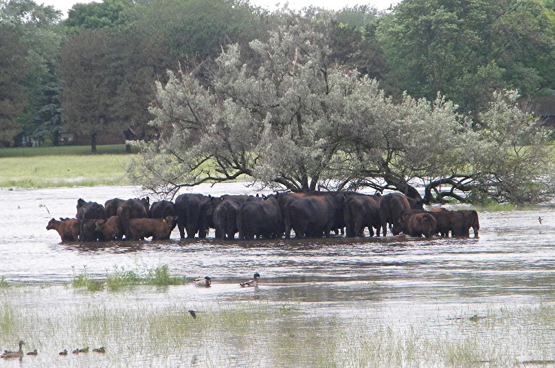 Cattle in flooded pasture located on N. Pierce Ave and 12th NW