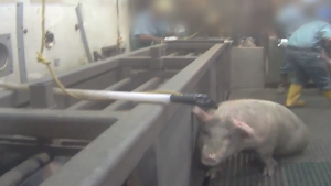 A pig runs from a worker with a paddle as it enters the slaughter line