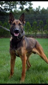 K9 Ogon (Hardin county sheriff's office photo)